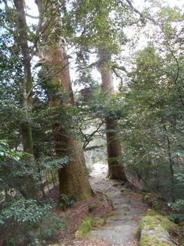s_9-DSCN0738-登山道沿いの樹齢千年を越える杉の木.JPG